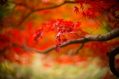 November 5 (moaan) Tags: leica november red japan 50mm dof bokeh f10 autumncolors momiji japanesemaple kobe jp utata mp noctilux hyogo 2014 leicamp leicanoctilux50mmf10 diaryofnovember futatabipark