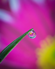 Hanging On (IJM Photography) Tags: macro flowers waterdrops