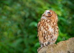 Things 'R' looking up!! (Ruth S Hart) Tags: tawnyowl expression character fun colour portrait bird nikond300 nikon7002000mmf28 hylandspark ruthshart