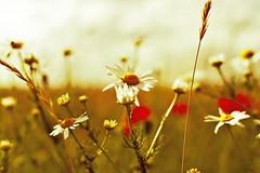 Leucanthemum ... (Julian P_) Tags: magerite flower blume outdoor nature natur air sun light yellow white ngc