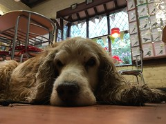 Max in the Animal Centre cafe (jovike) Tags: iphoneography animal dog london park enfield cockfosters floor cafe
