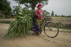 Farmer Sukmaya Tamang transports green fodder on her bicycle in Punarbas, Kanchanpur. (CIMMYT) Tags: nepal csisa cimmyt maize agriculture smallholder farmer mechanization asia