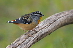 Spotted Pardalote (Vas Smilevski) Tags: spottedpardalote pardalote pardalotidae pardalotuspunctatus bushbirds birds bird birding feathers wildlife animals avian australianbirds australia nsw nature ngc olympusomdem1 mzuiko300mmf4pro omd em1 300mm getolympus m43 olympus olympusau olympusinspired