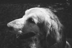 Ryka's portrait at age 12 (Timothy Lewis Jr.) Tags: canonae1program 28 canon100mmfd28breechmount blackandwhite blackandwhitefilm bw kodaktrix trixpushedx1 dogs outdoorportrait naturallightportraits naturallight naturallightportrait