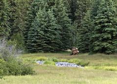 Elk 2 (nicoangleys) Tags: tetons grandtetonsnp nationalpark wyoming jacksonhole schwabacherslanding
