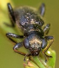 4.2 mm checkered beetle (ophis) Tags: coleoptera polyphaga cucujiformia cleroidea cleridae hydnocerinae phyllobaenus phyllobaenushumeralis checkeredbeetle