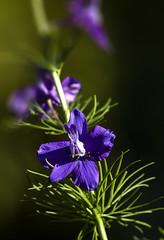 Au soleil du matin (mrieffly) Tags: fleurs violine canoneos50d 100400issriel