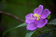 Flower (Manzur Ahmed) Tags: flower green violet garden botanical mirpur dhaka bangladesh august 2016 nikon d7100 18140 outdoor photowalk