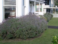 Auckland, New Zealand (gttexas) Tags: 2009 auckland cruise devonport lavender newzealand starprincess flower