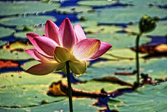 jazzy lotus flower (LotusMoon Photography) Tags: lotus flower summer pond garden botanicgarden water nature blossom blooming bloom petals peaceful vivid vividcolor vibrant photoshop photomanipulation artistic photopainting texture colorful postprocessed lotusmoonphotography canon annasheradon