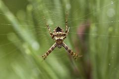 Heptagonal Orbweaver (Matt Claghorn) Tags: geaheptagon heptagonalorbweaver spider sevensidedorbweaver orbweaver macro ohiospiders tokina100mmf28 nikond50