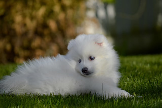 Resting... Curious little puppy... Japanese Spitz Puppy :-)