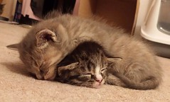 Kitten sleep-over!! (christianiani) Tags: cute kitten kittens cats sleeping sleepy young sweet image capture camera photograph photography photo picture flickr