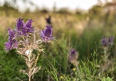 West Texas Morning (26 of 40) (mharbour11) Tags: wildcats elk purple sunrise westtexas texas sky windturbines windmill sun silhouettefire silhouette