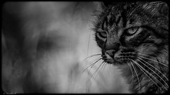 Ronde de Nuit... (Pilouchy) Tags: cat chat sauvage animal monochrome free lumiere noir eyes yeux regard life