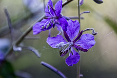 2016-08-23 In my lady's garden. . . (Mary Wardell) Tags: flower purple lavender dof garden rhododendrongarden portland oregon canon 60d