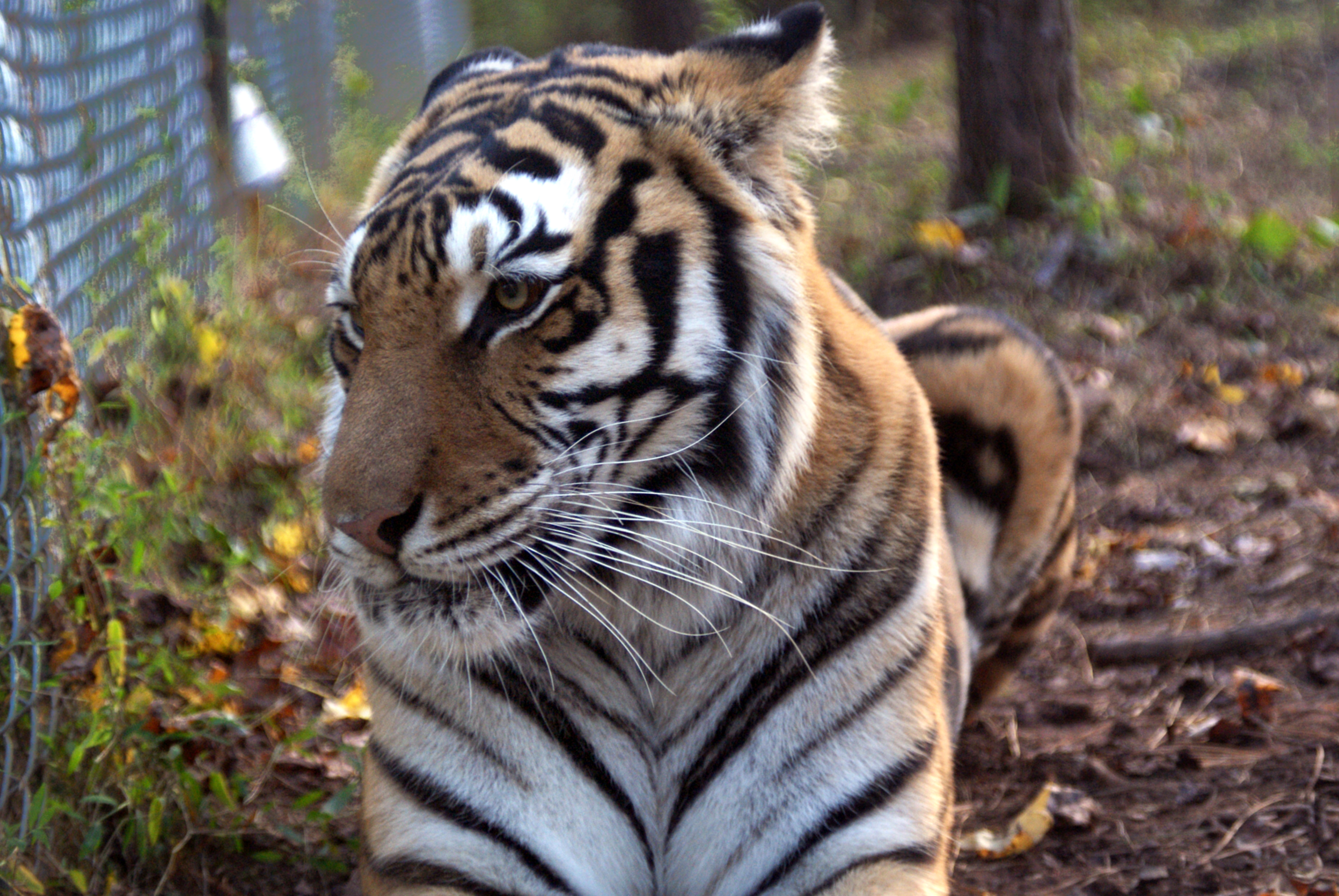 pittsboro cougar women If big cats are more your thing, look no further than pittsboro's carolina tiger  rescue, where you can witness lions, servals, cougars, caracals,.