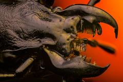 Crabrante (masquerade81) Tags: focusstack closeup extreme bug macro insect mouth groundbeetle dead