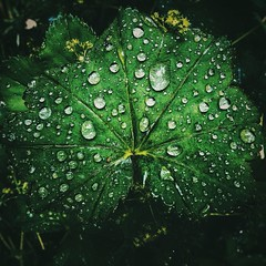Raindrops (allyapa) Tags: raindrops drops drop leaf macro nature green nokia lumia lumia830