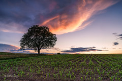Sonnenuntergang beim Nussbaum / Sunset on walnut-tree (Explored...thank you so much!) ♥ (Claudia Bacher Photography) Tags: sonnenuntergang sunset nussbaum walnuttree baum tree wolken clouds maisfeld maizefield abendstimmung eveningsun suisse schweiz switzerland sonya7r himmel heaven landschaft landscape natur nature outdoor