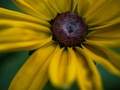 Echinacea - morning dew I (rainerralph) Tags: makro bokeh olympus macro echinacea objektiv1240pro flower blten morgentau outdoor omdem5markii sonnenhut garten blumen