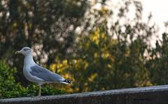 Looking (dwarfphotos) Tags: gabbiano roma villaborghese allaperto uccelli nikon d 5200 nikkor 55300