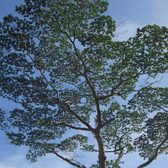 Tree (IMG_0289ed) (Dennis Candy) Tags: srilanka ceylon serendip serendib sky nature beauty pattern branch leaves foliage blue green
