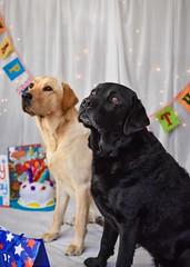 Celebrating (Sharron Burns) Tags: blacklabrador yellowlabrador party labradors dogs birthday