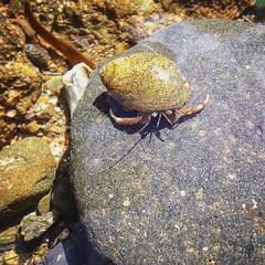 Hermit crab (Wildlifelocker) Tags: wildlife hermit crab nature rockpool