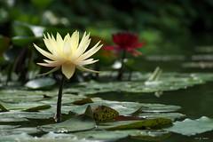 Nnuphar (jpto_55) Tags: fleur nnuphar bokeh xe1 fuji fujifilm fujixf55200mmf3548rlmois jaune tarn france jardindesmartels
