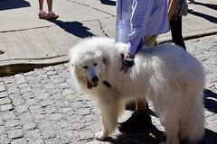 A Good Boy (pete.crain89) Tags: chestnut hill philadelphia festival fall