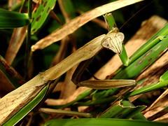Chinese Mantis, Tenodera aridifolia (4) (Herman Giethoorn) Tags: mantis mantid insect
