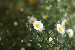 kwiat (KJ.grabowski) Tags: summer sunny atumn macro bokeh