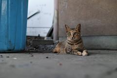 (ogizooo) Tags: sigma sdquattro sigma24mmf14art cat straycat portrait