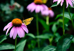 Clouded Sulphur on Purple Coneflower (Emily Kistler) Tags: america d750 midwest nikon ohio outdoors usa unitedstates coneflower purpleconeflower cloudedsulphur butterfly insect animal plant wildlife bokeh travel edenpark nature park