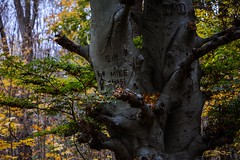 Carved up Tree (LauraJSwindle) Tags: botanical 85mm plants nature nikond7100 ny longisland foliage tree carved carvings namecaving branches leaves fall autumn muttontownpreserve muttontown trunks bark flora wantagh usa woods