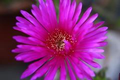 Rayito de sol rosa (Mari Tutu) Tags: flor flores naturaleza polen abejas primavera calor cactus florecer flore plantas rosa malvon brote vida