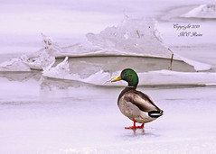 Mallard On Ice at Mill Creek Marsh in Secaucus NJ (Meadowlands) (takegoro) Tags: winter ice creek mallard marsh water water nature wildlife meadowlands mill nj birds fowl secaucus