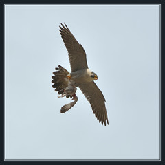 The Peregrine Falcons Of Norwich Cathedral (Full Moon Images) Tags: male bird female flying cathedral nest flight platform steeple spire falcon trust norwich prey birdofprey peregrine hawkandowl