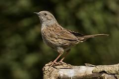Dunnock (7) (jgsnow) Tags: birds dunnock