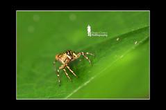 The Jumper (Ringgo Gomez) Tags: 1001nights macroextreme macrolicious nikond90 malaysianphotographers macromarvels macrolife perfectphotographers sarawakborneo nikond90club 1001nightsmagiccity