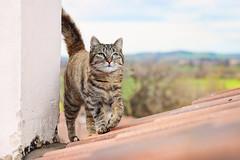 ...greetings from the roof! (Elisa Severi) Tags: roof chimney panorama pet cat tile eyes kitten scenery tetto comignolo view kitty occhi gatto micio gatta tegole ciuffa elisaseveri