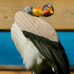 King Vulture WLD_6309 thumbnail