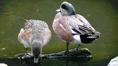 American Wigeon Pair (Diamond Brooke) Tags: male bird water female duck couple pair feather american breeding americana fowl anas freshwater wigeon baldpate dabblers