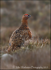 Red Grouse (Mike Warburton Photography) Tags: mountain nature wet rain birds wales canon heather wildlife sigma peat bog moorland redgrouse 50d