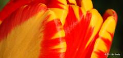 Like tropical ice (hartp) Tags: flowers red plant flower color colour rot nature colors yellow d50 catchycolors garden spring nikon natural natur pflanze blumen gelb tulip blume farbe garten farben frühling tulpe helluva welltaken hartp hartp94315 wowiekazowie macromix
