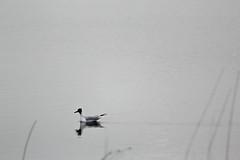 (puddaholic) Tags: larusridibundus blackheadedgull httemge hettemke