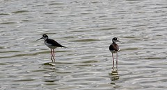Echassiers au Cayo Santa Maria (Cuba) (thiery49) Tags: santa sea mer bird spring maria cuba mangrove printemps oiseau cayo cubain