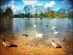 birdlife (Big Star ) Tags: uk trees england lake texture birds geese ducks swans peterborough ortonmere