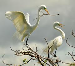 Creating a Nest (Jeff Clow) Tags: nature bravo texas nesting egrets greatwhiteegret specanimalphotooftheday avianexcellence